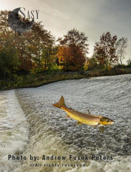Atlantic Salmon, Hen Salmon, Mature Female Leaping At Ashford Carbonel Weir Near Ludlow