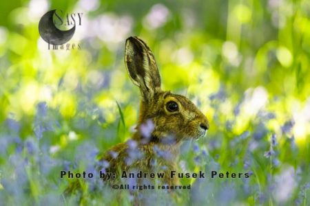 Brown Hare In The Bluebells