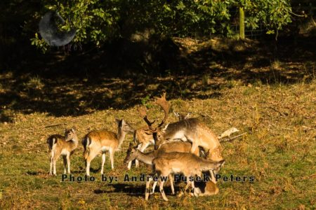 Male Fallow Buck Mating With Long Haired Female Fallow, Mortimer Forest, Shropshire