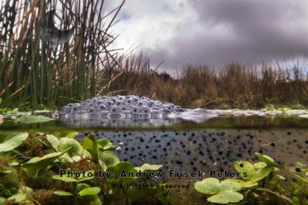 Frogspawn On The Long Mynd Upland, Shropshire Hills