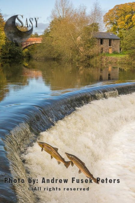 Atlantic Salmons, Hen And Cock Mature Salmons, Leaping At Ashford Carbonel Weir Near Ludlow, Shropshire