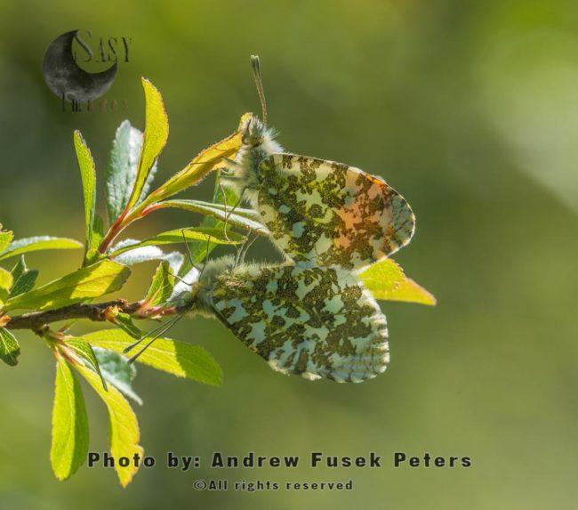 Mating Orange-tip Butterflies