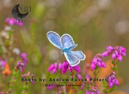 Silver Studded Blue On Bell Heather