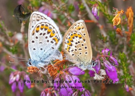 Silver Studded Blue Butterflies Mating