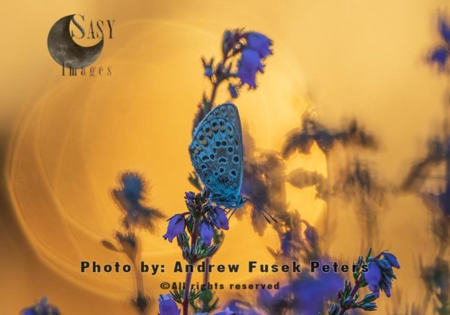 Silver Studded Blue Butterfly At Sunset