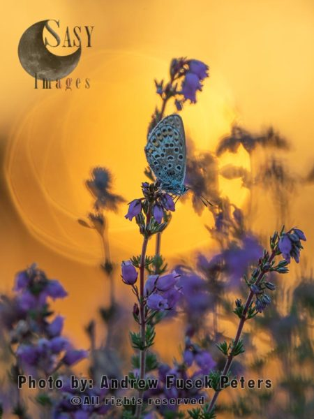 Silver Studded Blue Butterfly At Sunset, On Bell Heather