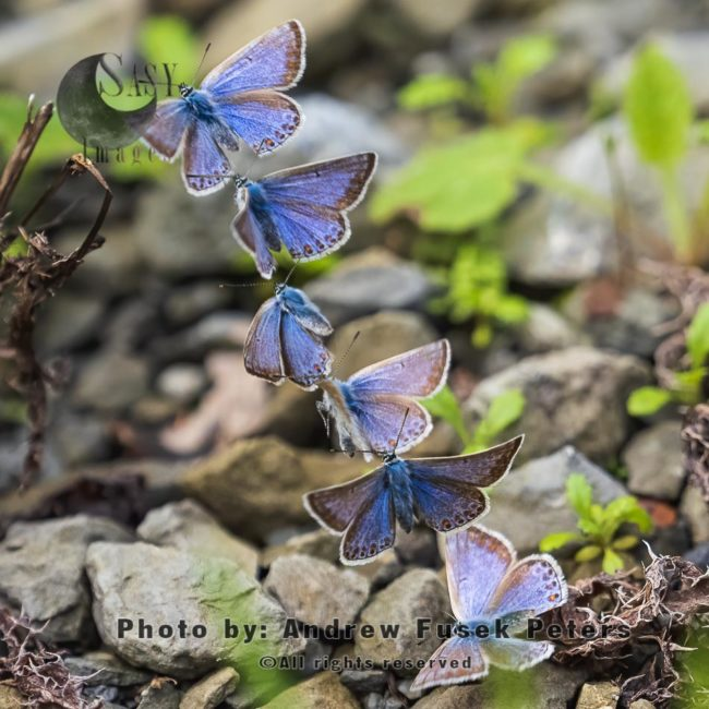 Common Blue Female  Flight Sequence