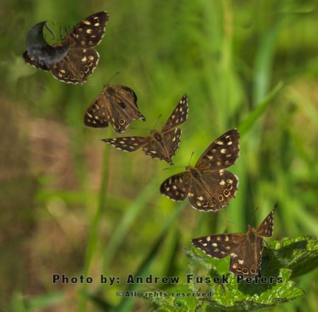 Speckled Wood Butterfly (Pararge Aegeria) Flight Sequence