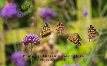 Painted Lady Butterfly (Vanessa Cardui) Flight Sequence