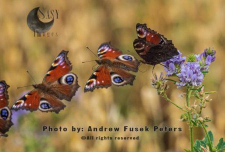 Peacock Butterfly (Aglais Io)  Flight Sequence, Venus Pool, Shrewsbury
