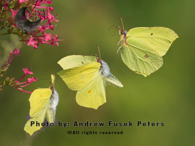 Brimstone Butterfly In Flight Sequence