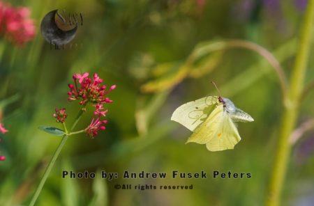 Brimstone Butterfly In Flight