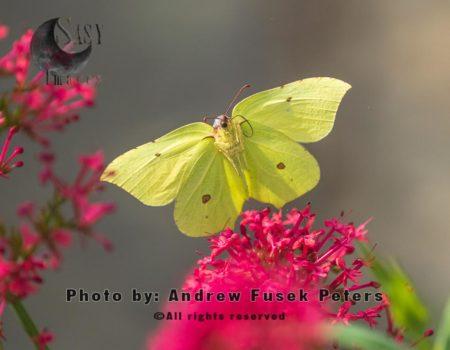 Brimstone Butterfly (Gonepteryx Rhamni)  In Flight In Garden
