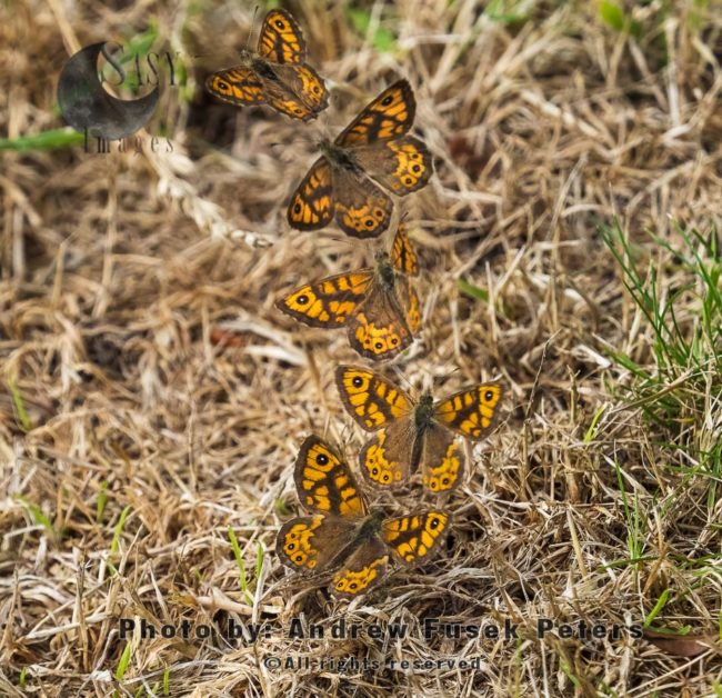 Wall Butterfly Flight Sequence