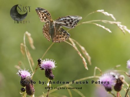 Silver-washed Fritillary Female Butterfly In Flight, Bury Ditches