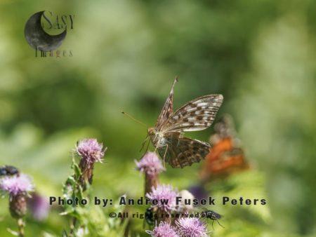 Silver-washed Fritillary Female Butterfly In Flight