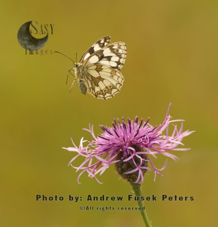 Marbled White Butterfly In Flight