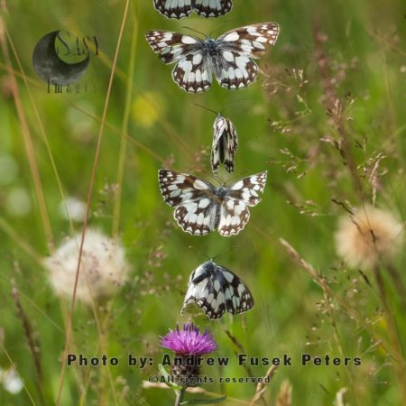 Marbled White Butterfly Flight Sequence