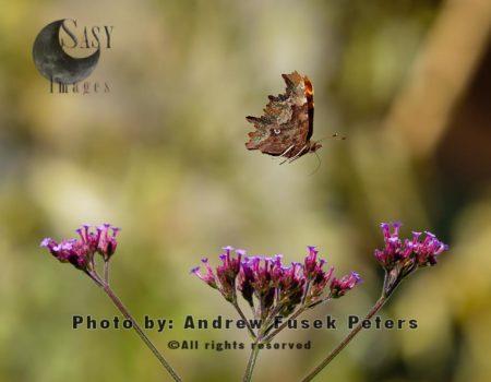 Comma Butterfly In Flight  Named