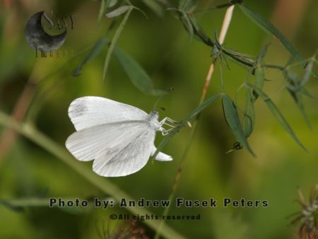 Wood White Butterfly  Female  Egg Laying On Meadow Vetchling