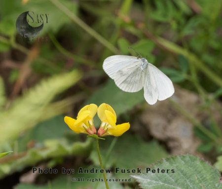 Wood White Butterfly  Female In Flight During Egg Laying On Meadow Vetchling