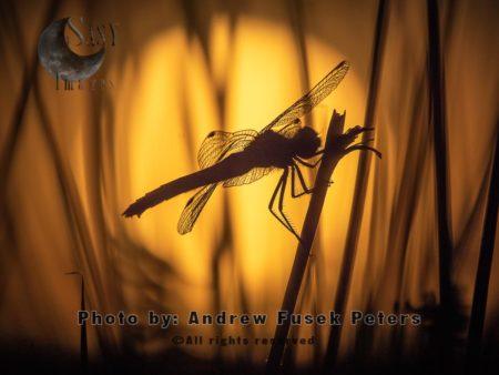 Black Darter Dragonfly With Sunset, Long Mynd Nature Reserve, Shropshire