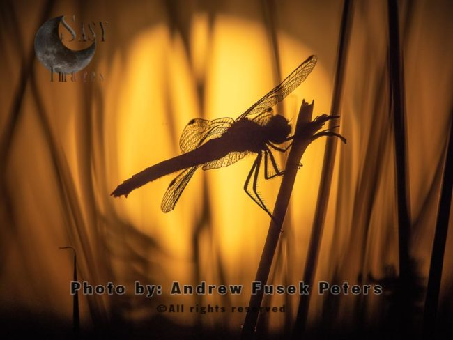 Black Darter Dragonfly With Sunset
