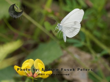 Wood White Butterfly  Female In Flight