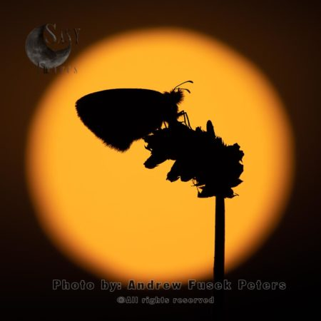 Silhouette Of A Small Heath Butterfly At Sunset