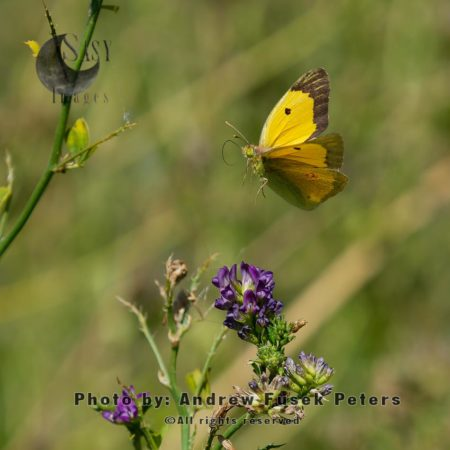 Clouded Yellow Butterfly  On Lucerne Flowers