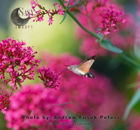Hummingbird Hawkmoth  Feeding On Valerian Flowers In Garden