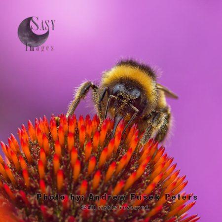 White Tailed Bumblebee On Echinacea