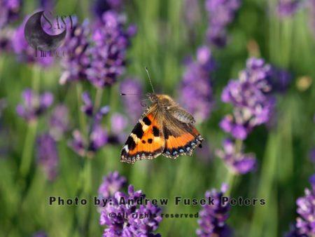 Small Tortoiseshell Butterfly In Flight