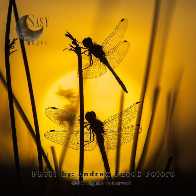 Black Darter Dragonflies With Sunset