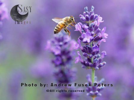 European Honey Bee, Flying In Field Of Lavender