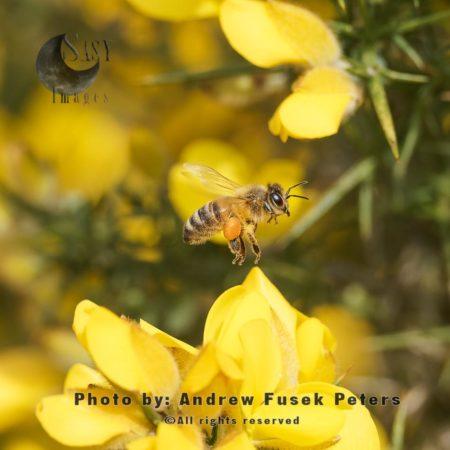 European Honey Bee In Flight On Gorse Flowers
