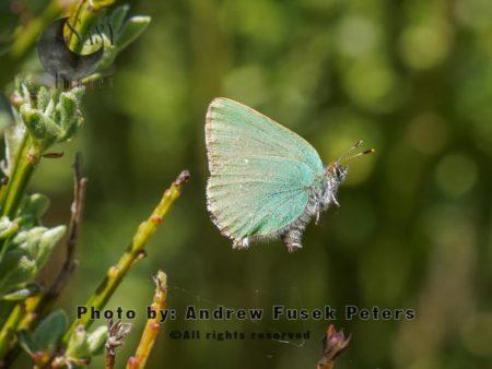 Green Hairstreak Butterfly In Flight, The Bog, Stiperstones