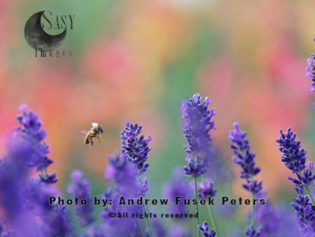 European Honey Bee Flying In The Lavender Field