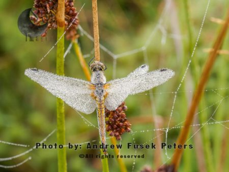 Black Darter Dragonfly  Early Morning Covered In Dew,  Long Mynd Nature Reserve