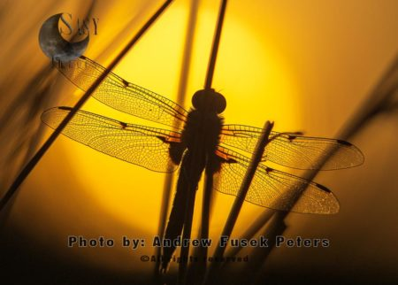 Four-spotted Chaser Dragonfly At Sunset