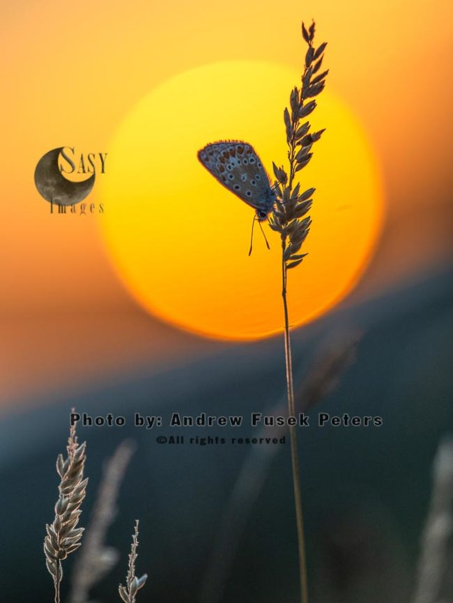 Common Blue Butterfly Female At Sunset