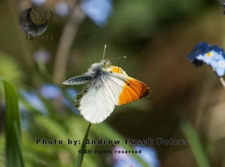 Male Orange-Tip In Flight