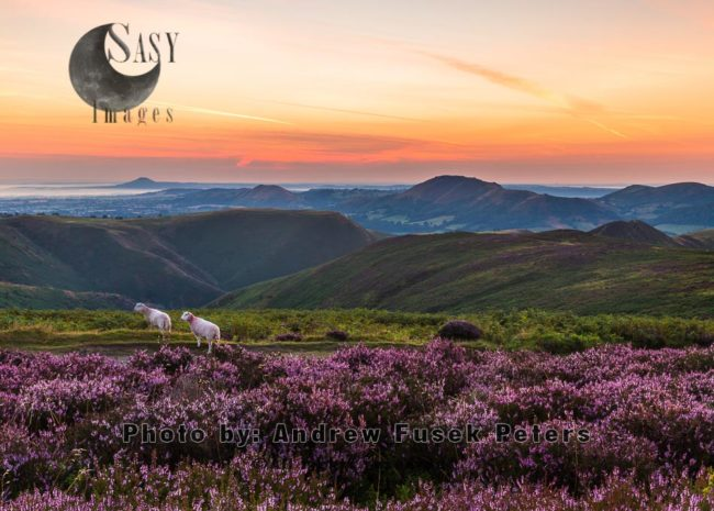 Dawn On The Long Mynd With Heather In Bloom